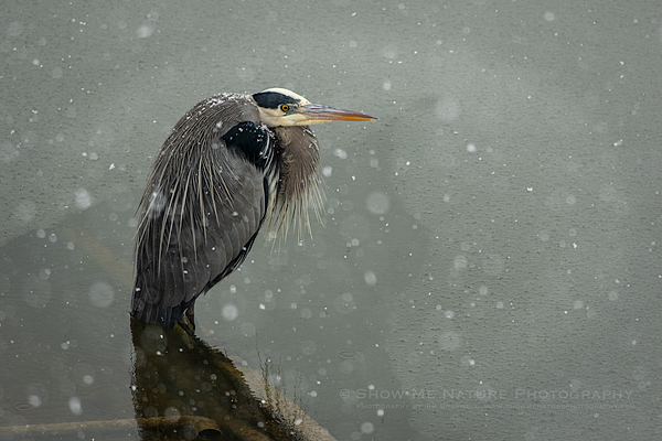 Great Blue Heron in snowstorm