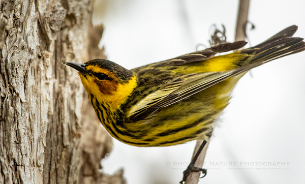 Cape May warbler with insect