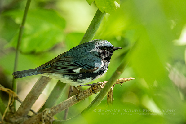 Black-throated Blue Warbler, male