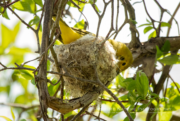 Yellow Warbler working on nest