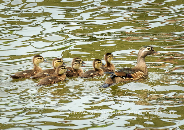 Wood Duck hen and spring ducklings