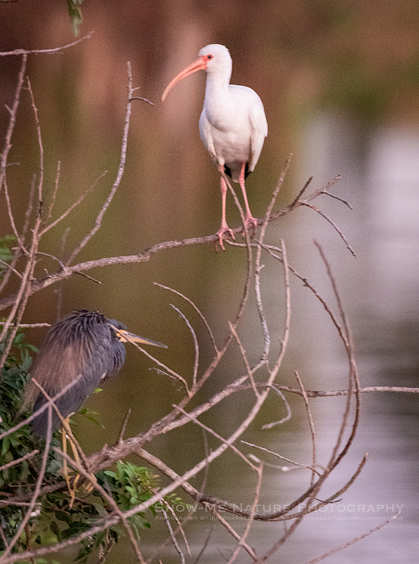 White Ibis and a Heron at the Venice Rookery, pre-dawn