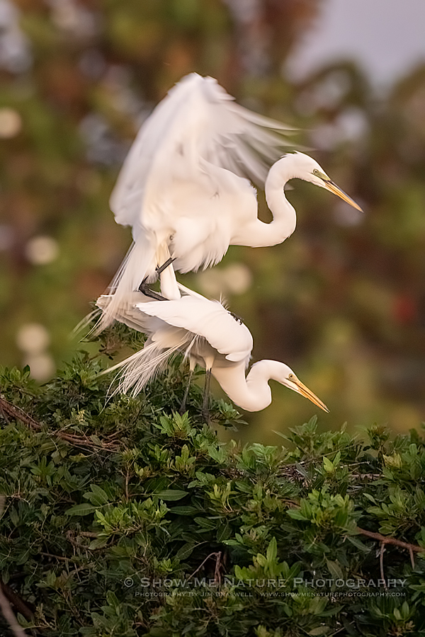 Great Egret pair, mating