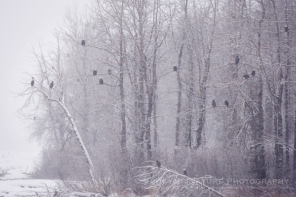 Bald Eagles in trees