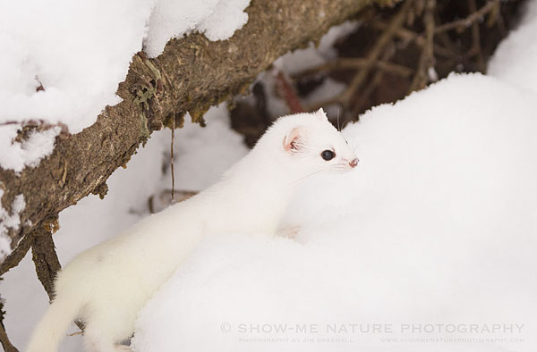 Short-tailed Weasel in the snow