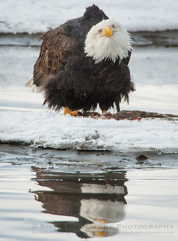 Bald Eagle and reflection