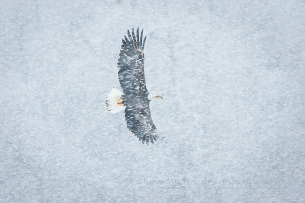 Bald Eagle soaring in the heavy snowfall