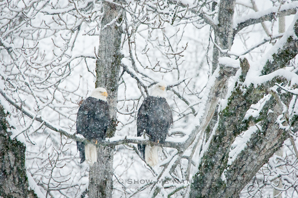 Bald Eagles in the snowy landscape