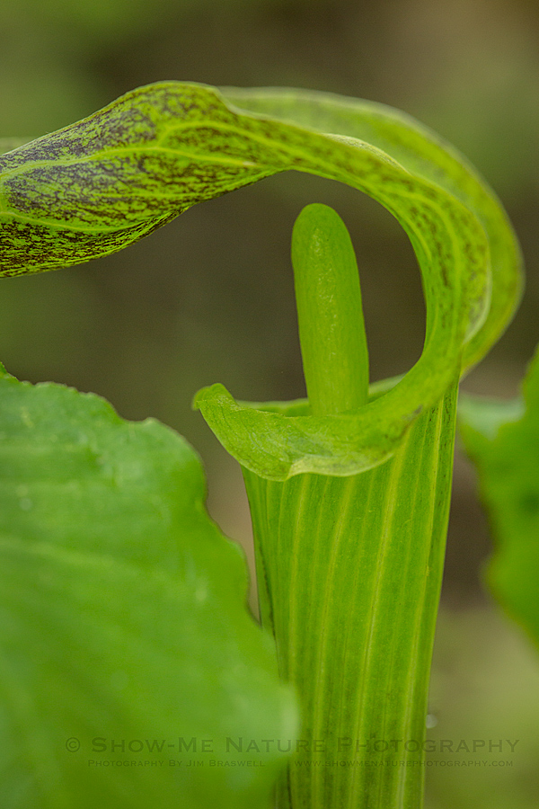 Jack-in-the-Pulpit wildflower