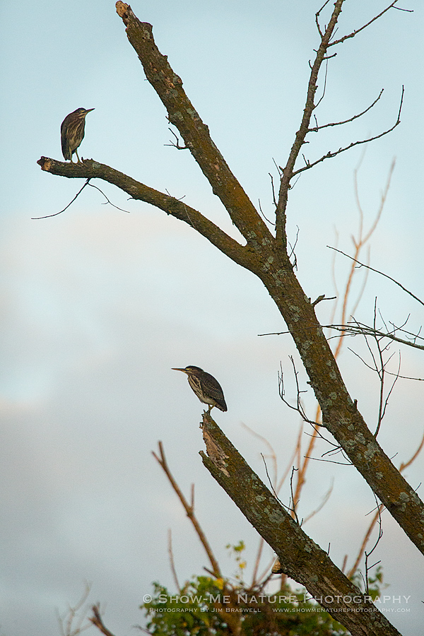 Green Herons in a tree, just as the sun rises