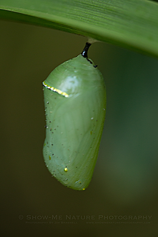 Monarch butterfly pupa, or chrysalis