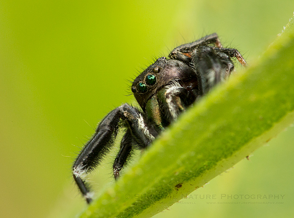 Jumping Spider on the prairie