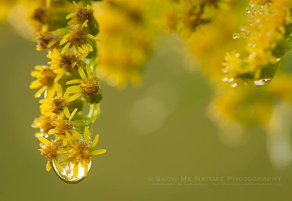 Goldenrod wildflower with dewdrop
