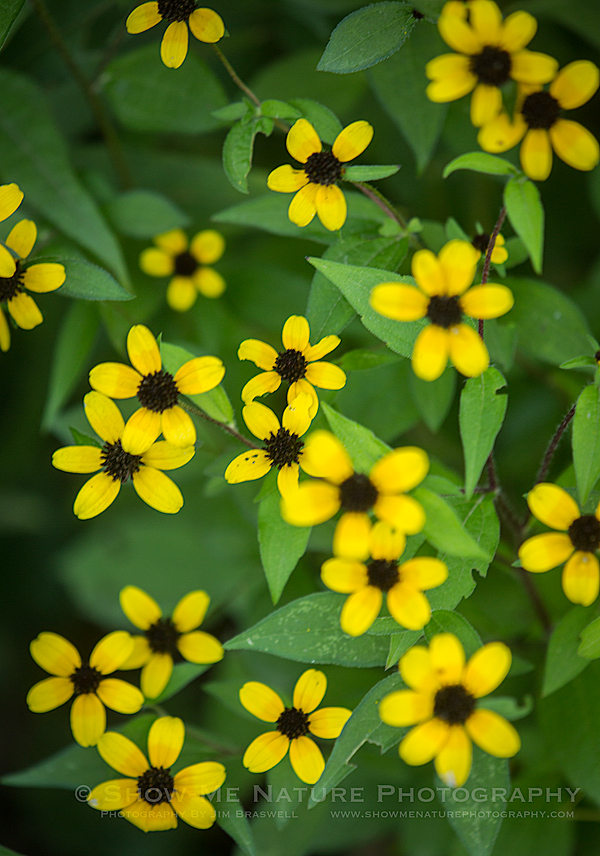 Brown-eyed Susan (Rudbeckia) wildflowers