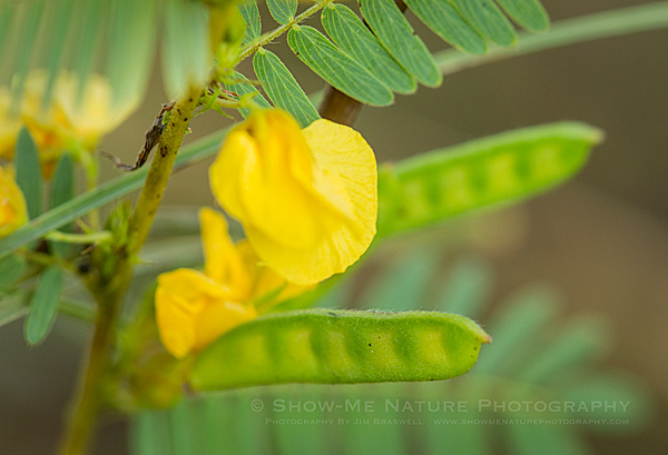 Partridge Pea wildflower