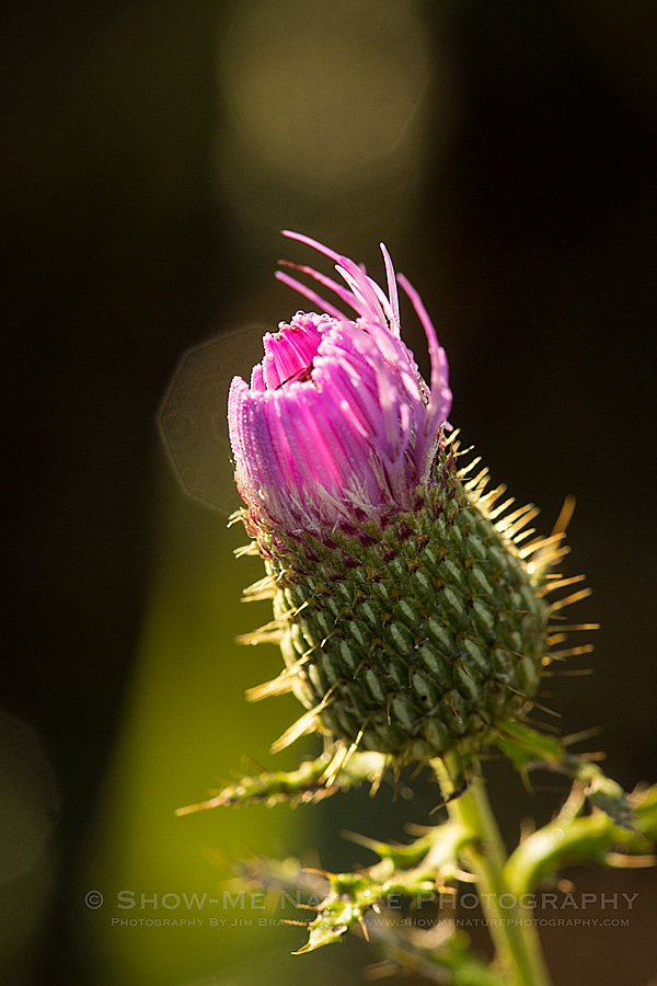 Thistle wildflower