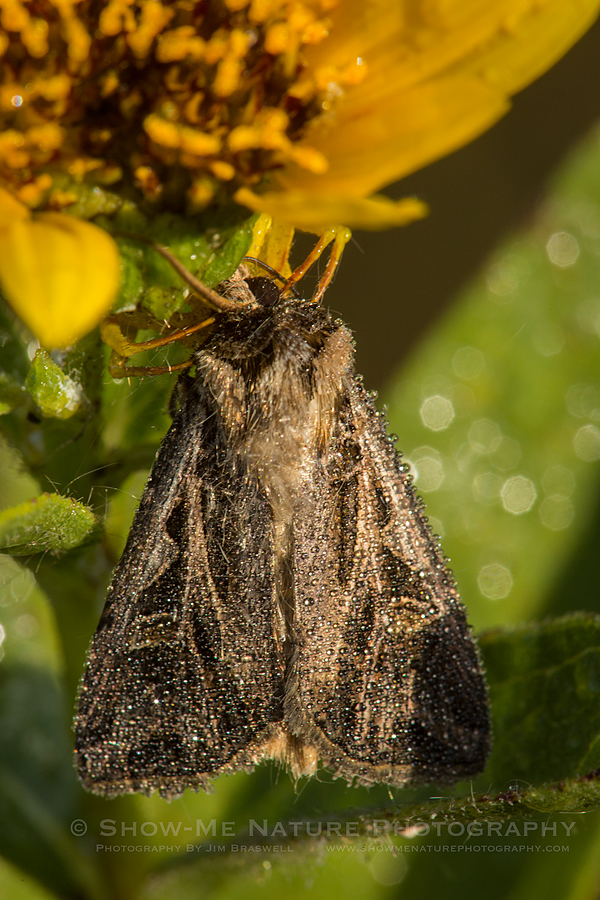 Dew-covered Moth