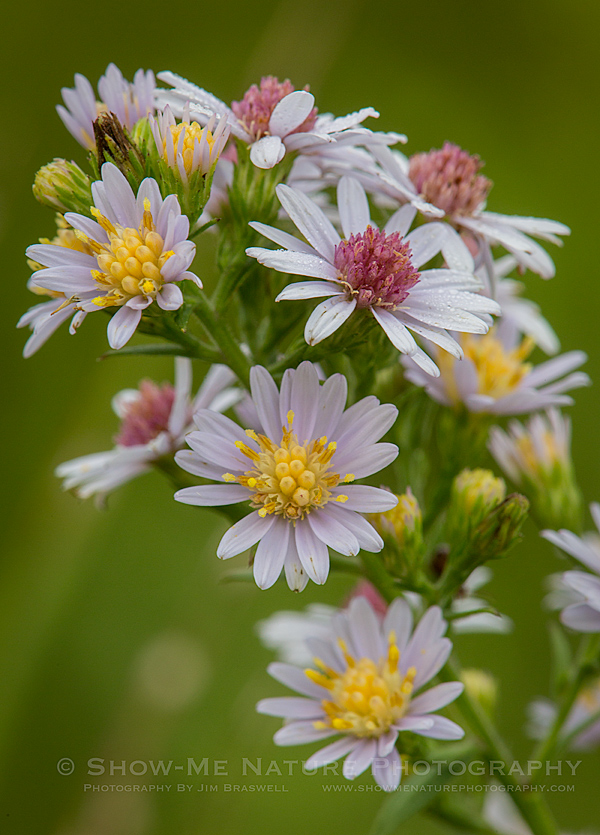 White Heather Aster wildflowers