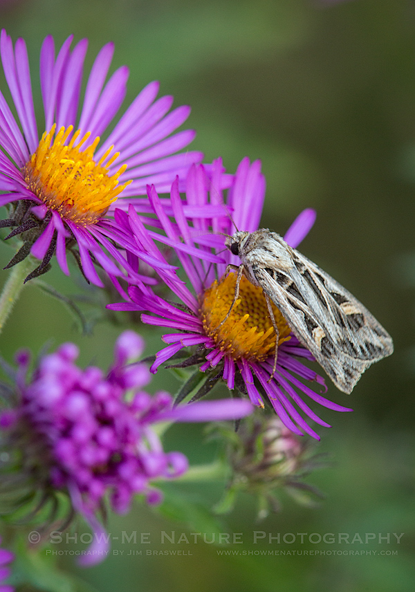 Moth on Purple Aster
