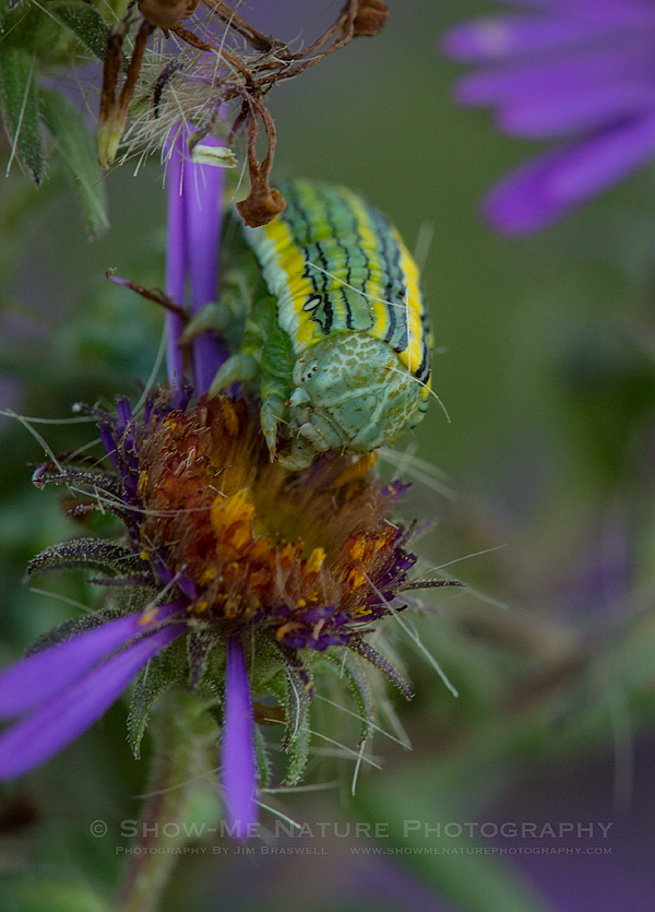 Asteroid Moth caterpillar feeding on purple aster wildflowers
