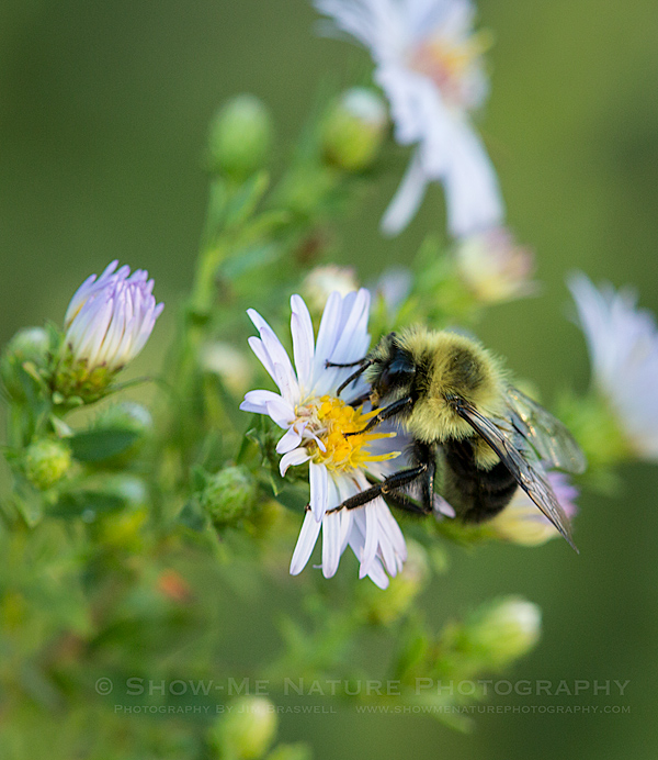 Bumble Bee on Fleabane