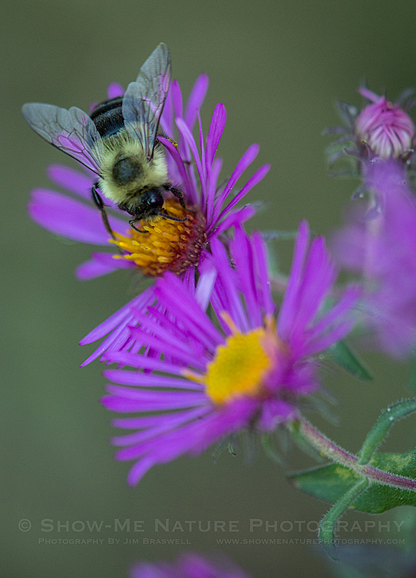 Bumble Bee on Aster