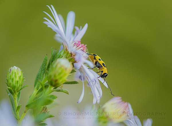 Small beetle on aster wildflower