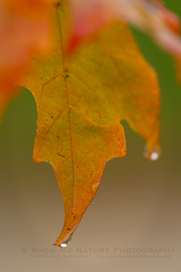 Fall Leaf in the rain