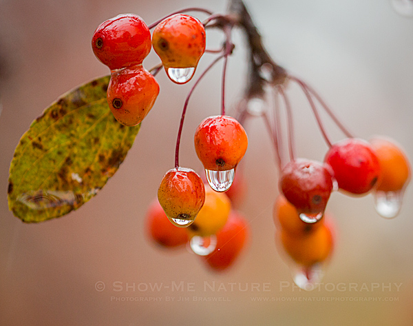 Raindrops on tree fruit