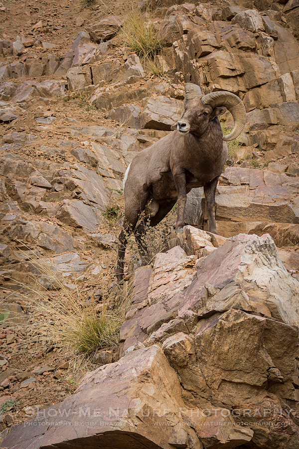 Bighorn Sheep ram along the canyon wall