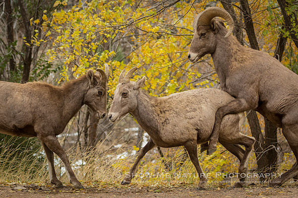 Bighorn Sheep ram attempts to mate with an unwilling ewe