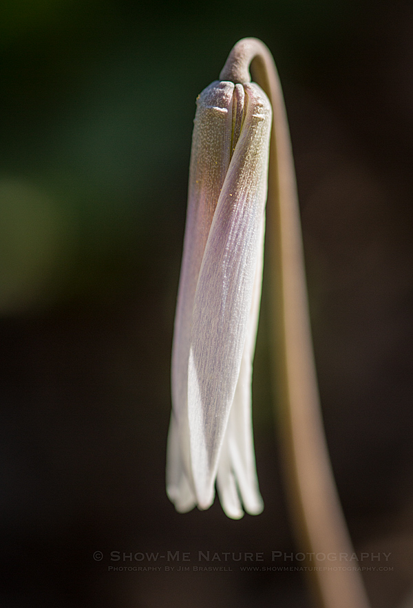 Trout Lily (aka Dog-tooth Violet)