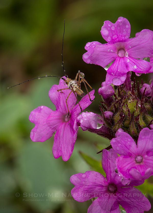 Insect on Raindrop-covered Rose Verbena wildflower