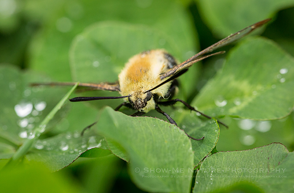 Clearwing Moth on wet clover