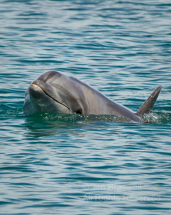 Bottle-nose Dolphin emerges from the Sea of Cortez (Baja, Mexico)