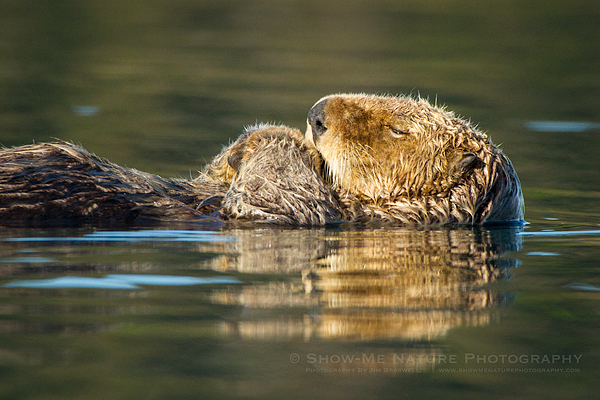Sea Otter napping while floating along the water
