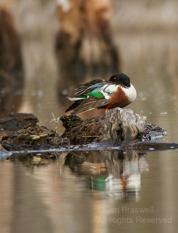 Northern Shoveler drake napping on a log