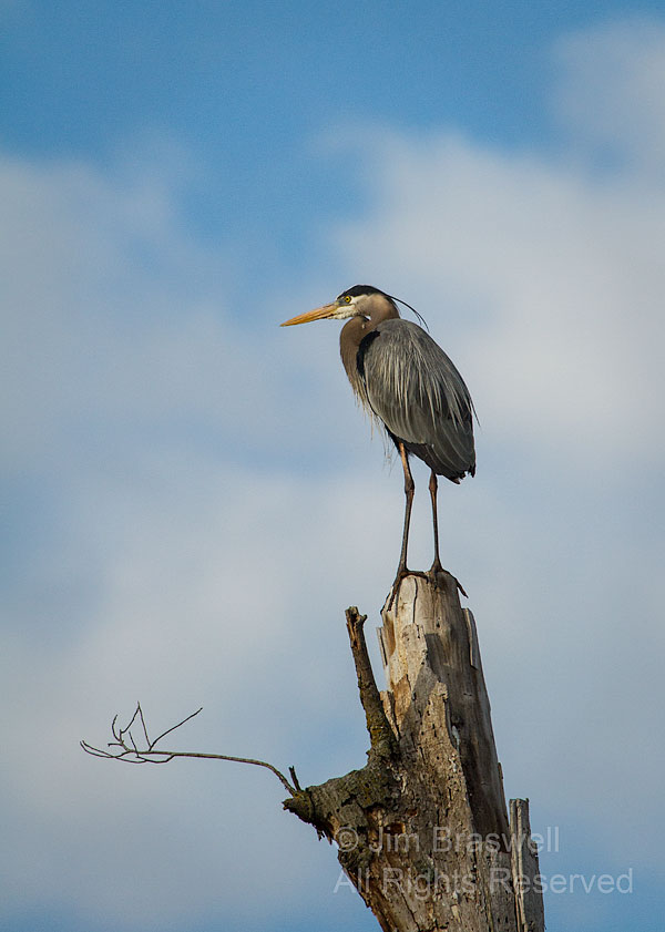 Great Blue Heron on top of tree