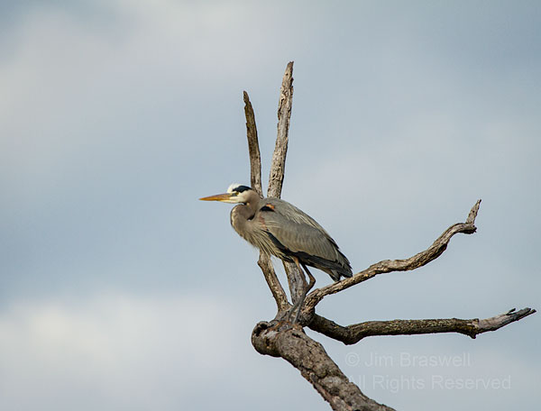 Great Blue Heron in treetop