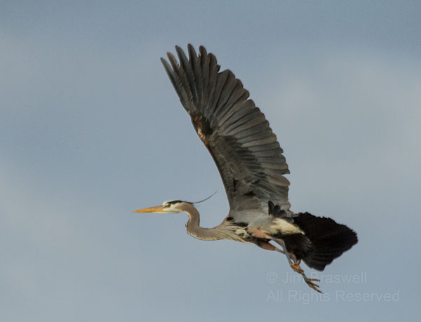Great Blue Heron in flight