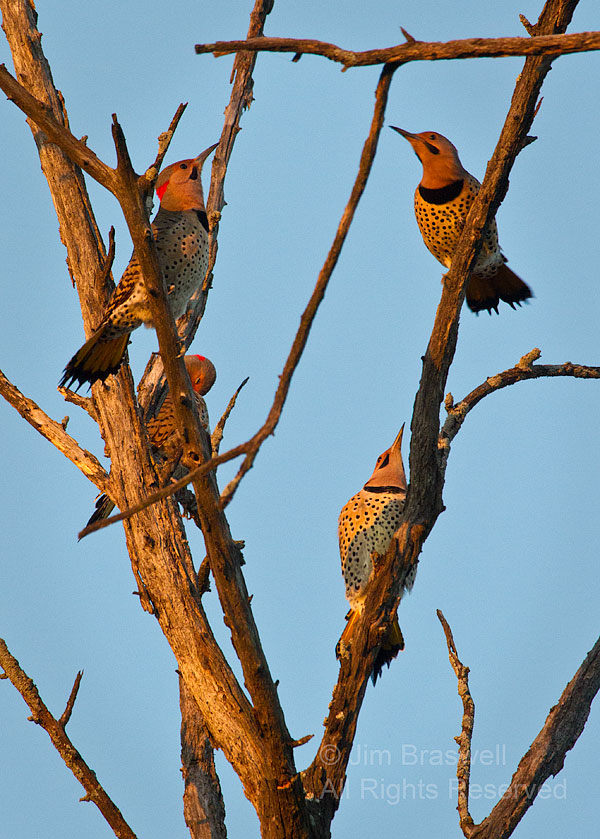 Northern Flicker group