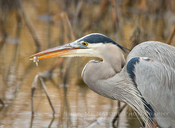 Great Blue Heron with small minnow