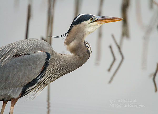Great Blue Heron finishes a fish meal