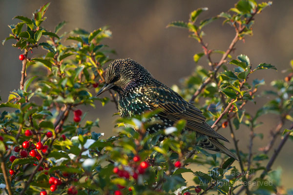 European Starling, adult in winter plumage