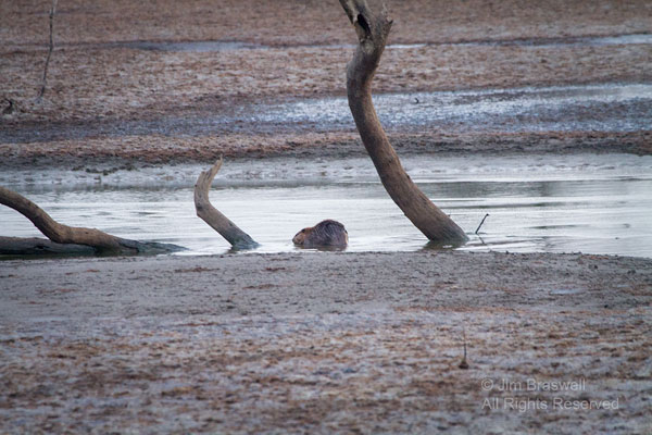 Beaver in shallow water, as lake is being drained