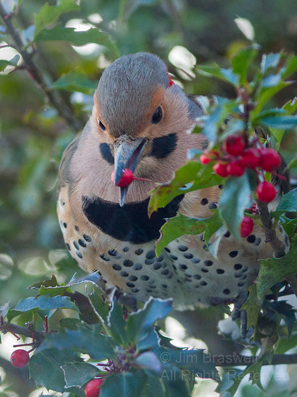 Norther Flicker male, with holly berry in mouth