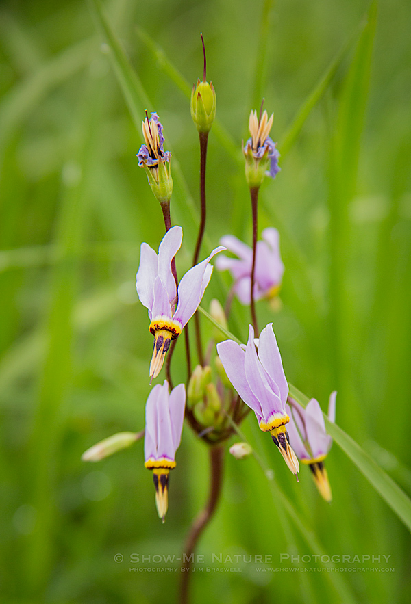 Shooting Star wildflower