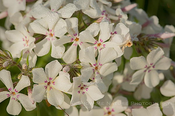 Prairie Phlox wildflower