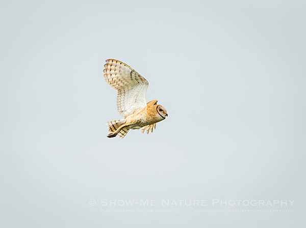 Adult Barn Owl in flight