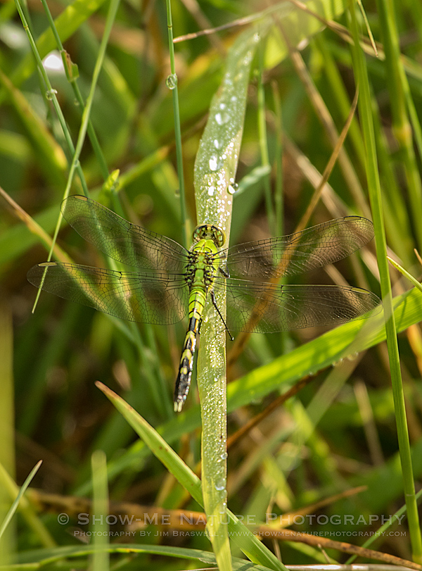 Eastern Pondhawk Dragonfly female